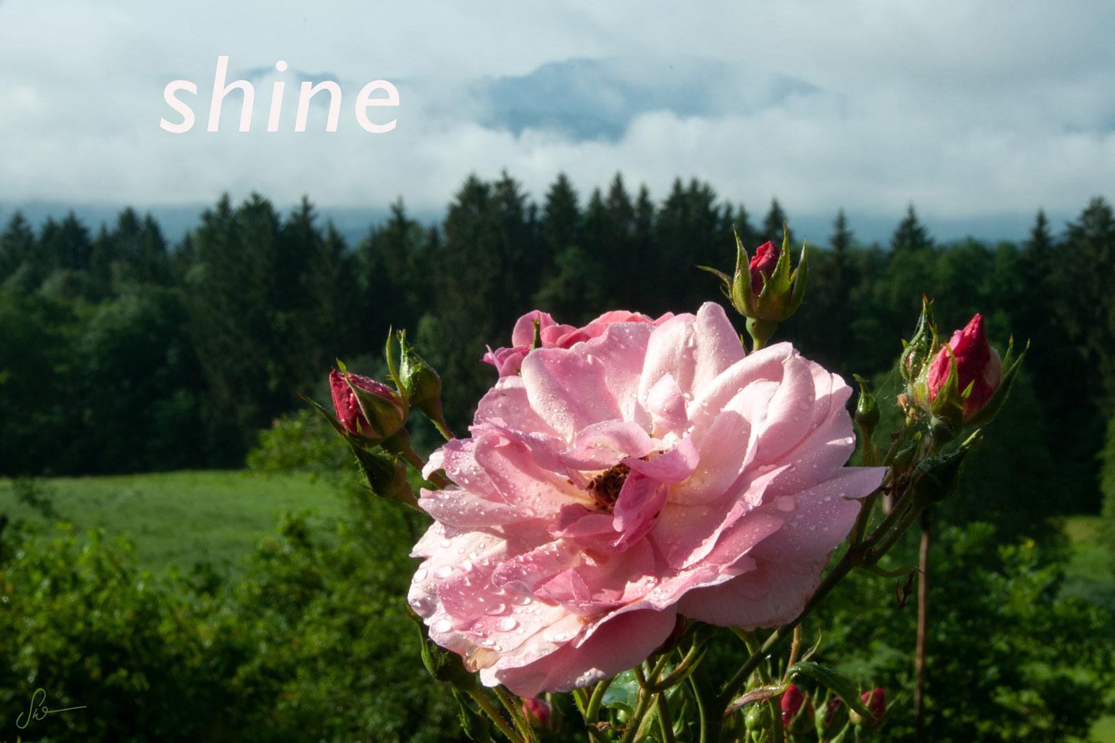 Rose-Nantes_3710-14D_sw_shine-v2